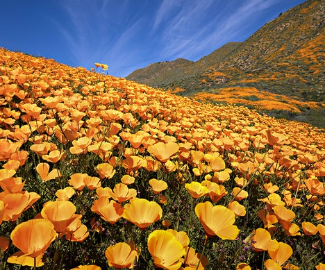 California Wildflowers: Where and When to Find Them During the Super Bloom San Diego