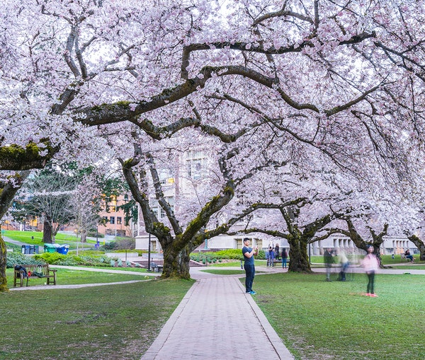12 Places to See Cherry Blossoms in the United States
