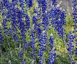 Big Bend National Park Welcomes Biggest Bluebonnet Bloom in Years