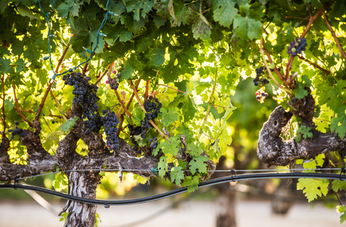 Oenophiles Rejoice: The Most Interesting Wines of the Napa Valley Rival Those of Italy
