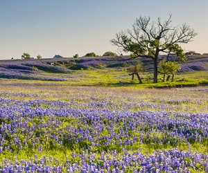 Promising Texas Bluebonnet Season Predicted Despite Winter Storm