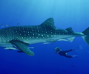 Where the Whale Sharks Are: 9 Places to Spot the Gentle Giants This Summer