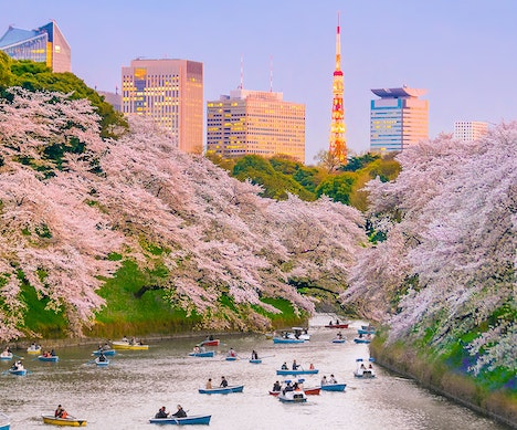 Japan's Cherry Blossoms Are Predicted to Arrive Early Again This Year   Japan