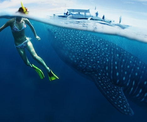 What It's Like to Swim with Whale Sharks