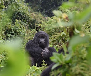 Social Distancing With Gorillas in Rwanda
