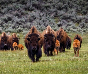 Yellowstone Announces Summertime Field Seminars for Serious Nature Lovers