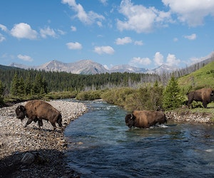 Plains Bison Are Roaming Freely in Banff for the First Time in Over a Century