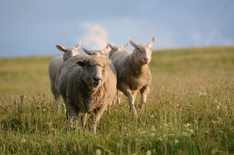 Original 2014 08 17 running 20sheep.jpg?1490227752?ixlib=rails 0.3