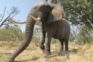 Help Save Elephants by Walking With Them in Botswana