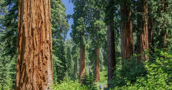 World's Largest Private Sequoia Grove to Be Preserved