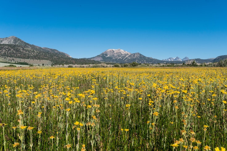 California's eastern Sierras are expected to see an explosion of wildflowers this summer.