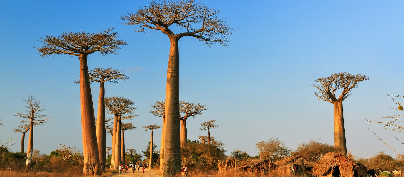 Centuries-old trees line Madagascar's Avenue of the Baobabs.