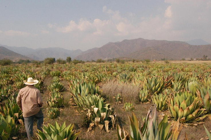 Unlike tequila, raicilla incorporates many different types of agave.