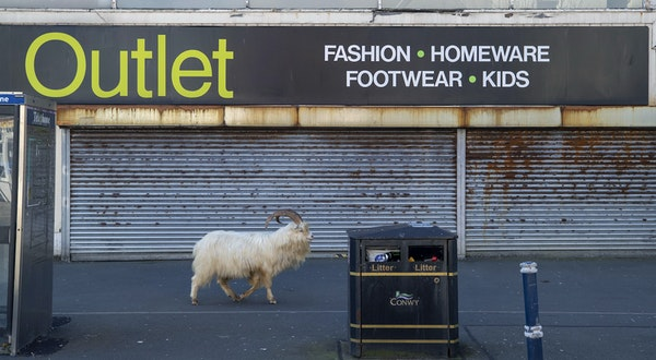Goats Invade Locked-Down Welsh Town
