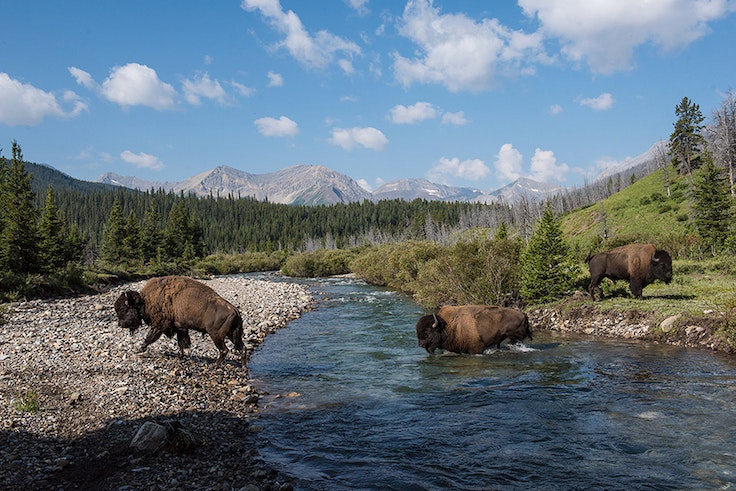 Banff National Park is now home to several dozen wild bison.
