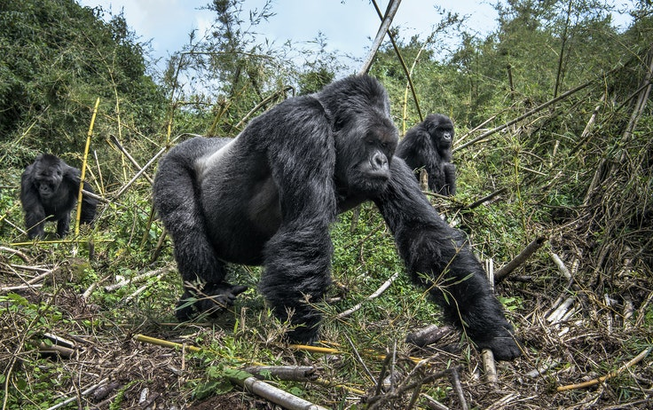 Rwanda is one of the few places in the world to see critically endangered mountain gorillas in the wild.