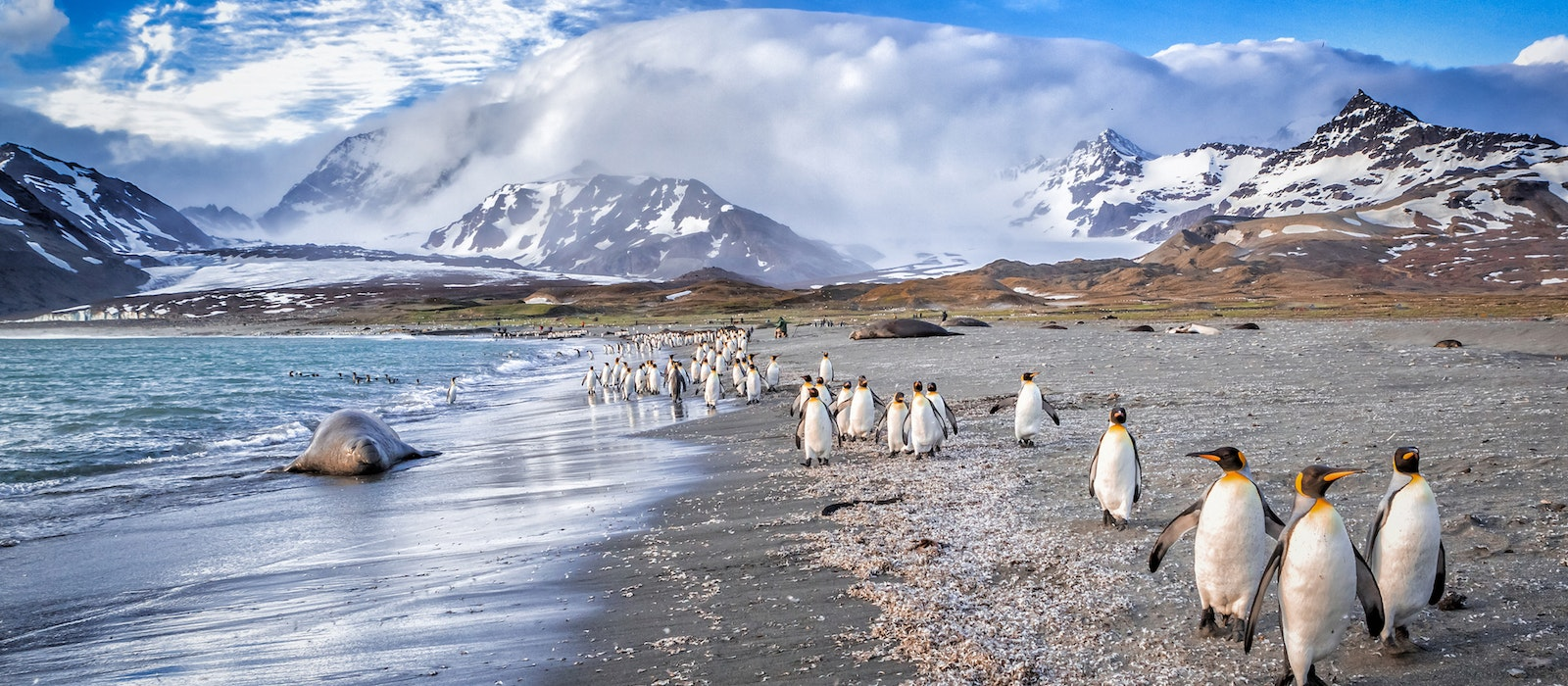 King penguins form colonies in South Georgia, an island in the Antarctic region south of the Falkland Islands.