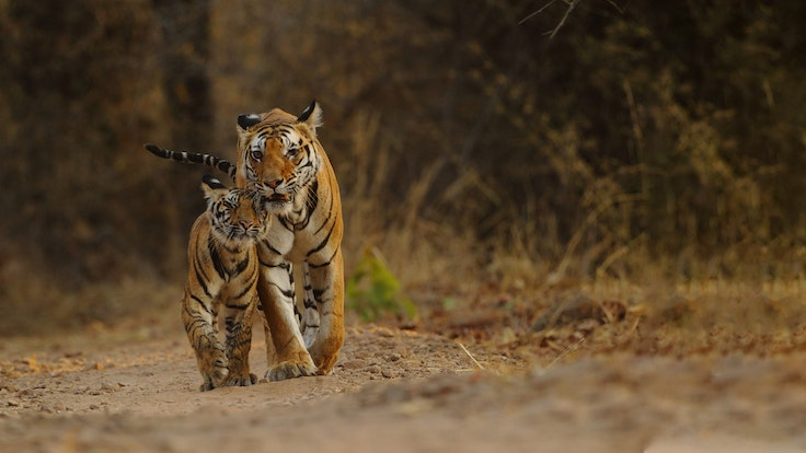 India is home to 70 percent of the world's tigers, and Rolex Awards for Enterprise Laureate Krithi Karanth is working to help them coexist with people who reside on the fringes of their habitat.