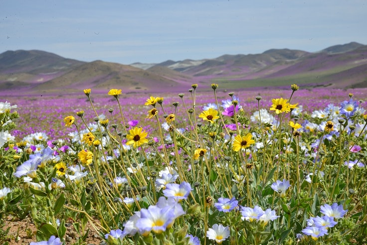 Desert super blooms are a beautiful—and rare—sight.