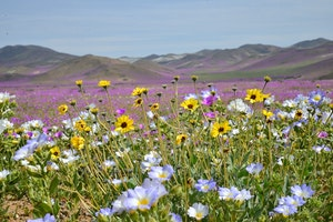 "Another ""Super Bloom"" Expected in Southern California"