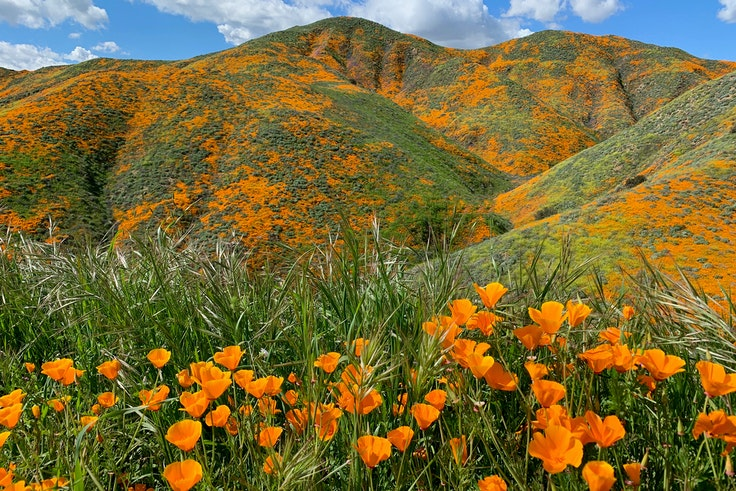 The poppy bloom in Walker Canyon is so popular that authorities have had to restrict the crowds.