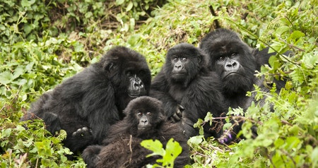 How the World's Last Mountain Gorillas Are Being Kept Safe During COVID-19
