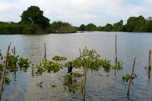 To Combat Climate Change, Sri Lanka Protects Its Mangroves