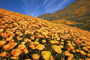 California Wildflowers: Where and When to Find Them