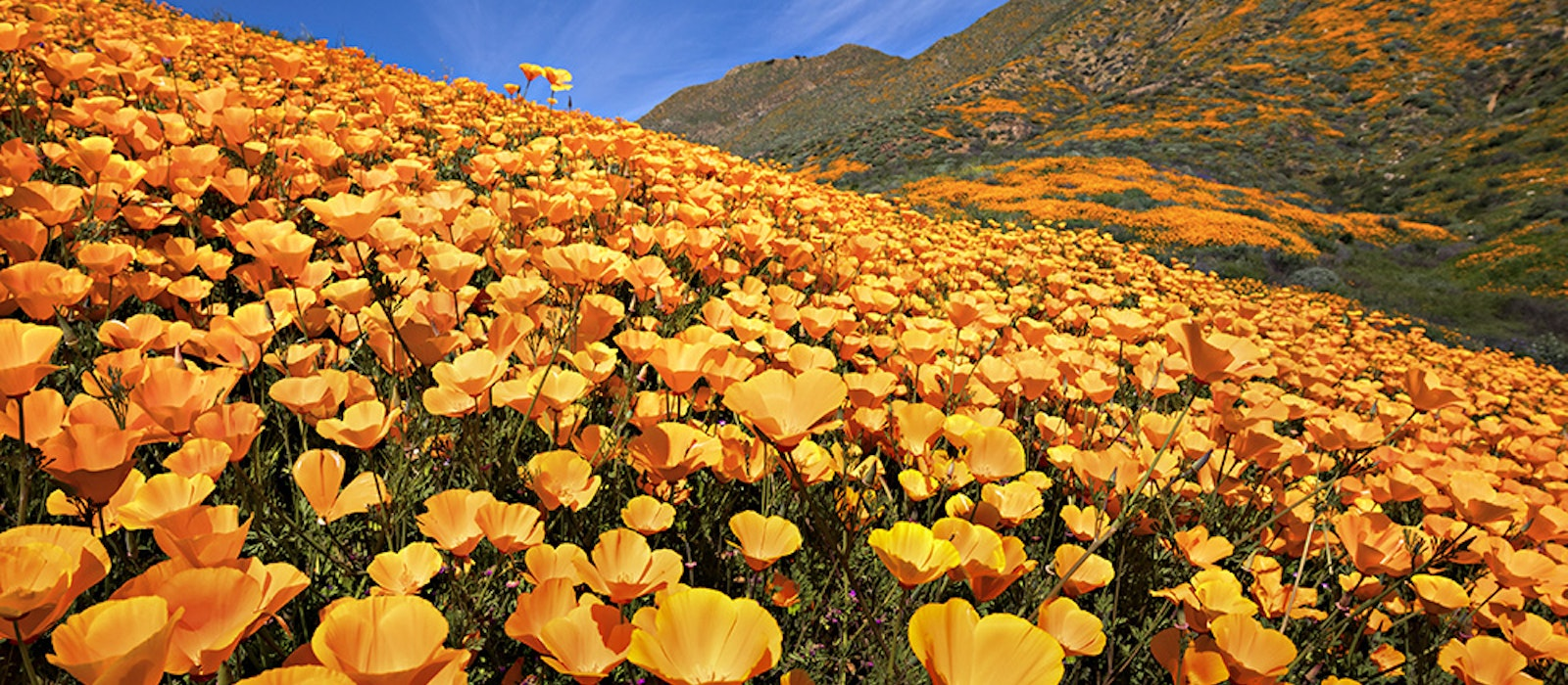 The California poppy is the most ubiquitous wildflower on the West Coast, but there's a lot more blooming in the Golden State this spring.