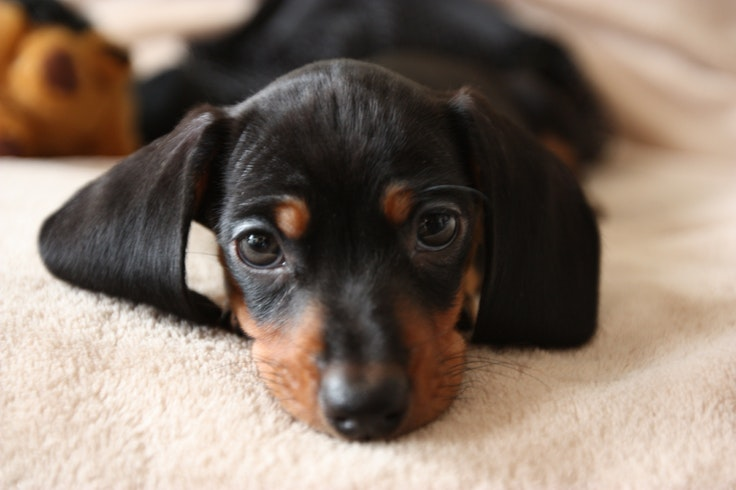During the 17th century, dachshundswere bred in Germany tohelp locals hunt badgers.