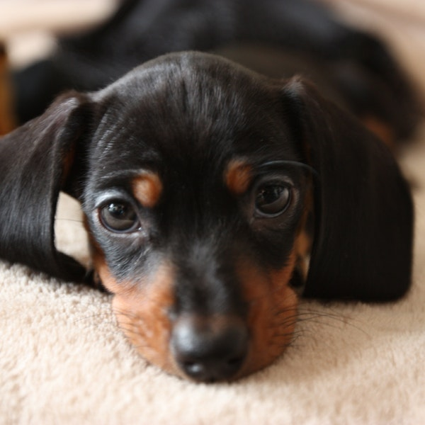 A Museum Devoted to Wiener Dogs Just Opened in Germany