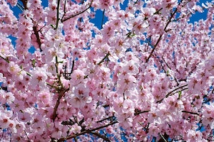 Why Japan's Cherry Blossoms Are Different This Year
