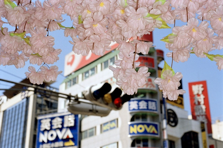 Hundreds of varieties of cherry blossom trees bloom across Japan during sakura-doki.