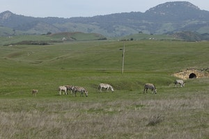 Did You Know That California Has a Secret Herd of Wild Zebras?