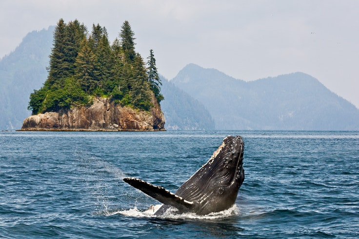 Humpback whales can be spotted in Alaska from mid-May through September.