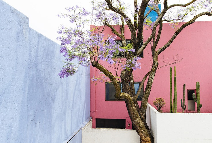 Tatsugoro Matsumoto, a renowned landscape architect, brought the Brazilian jacaranda to Mexico in the 1920s.