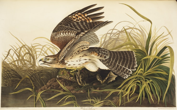 """Birds of America"" Plate 71, Winter Hawk"