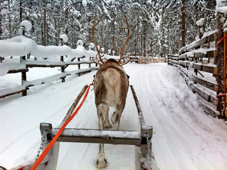 An influx of wintertime tourists means steady work for Lapland's reindeer population.