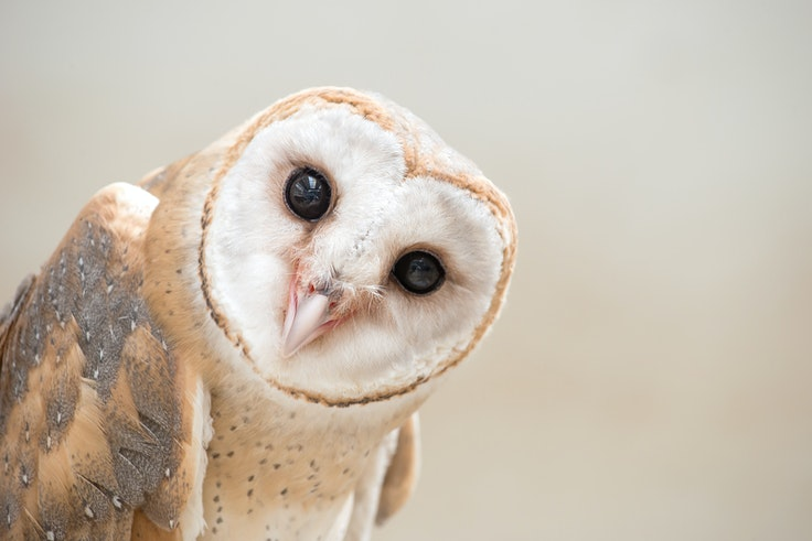Barn owls account for 13 perecent of the bird strikes that happen at SFO.