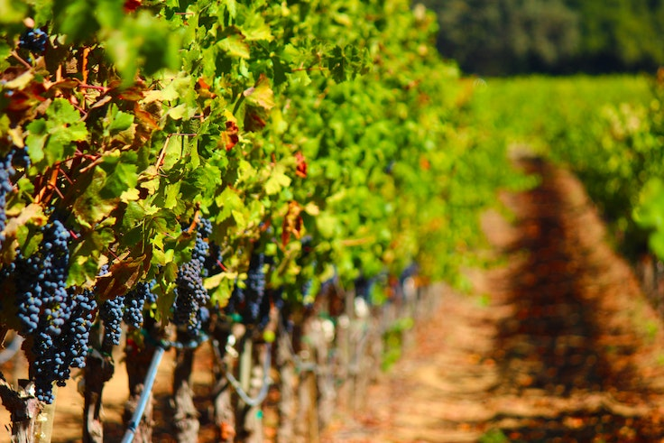 Vines hang heavy with grapes in Napa Valley.