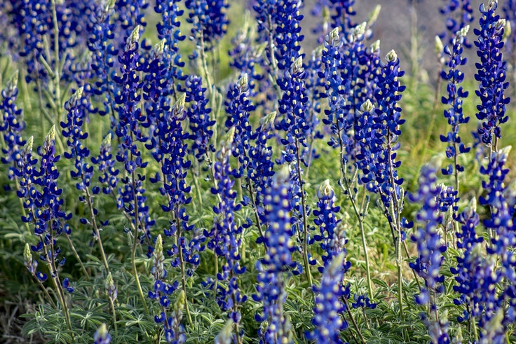 The Chisos bluebonnets in Big Bend National Park can grow up to three feet tall.