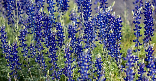 Where to Find the Texas Bluebonnet Mega Bloom 2019