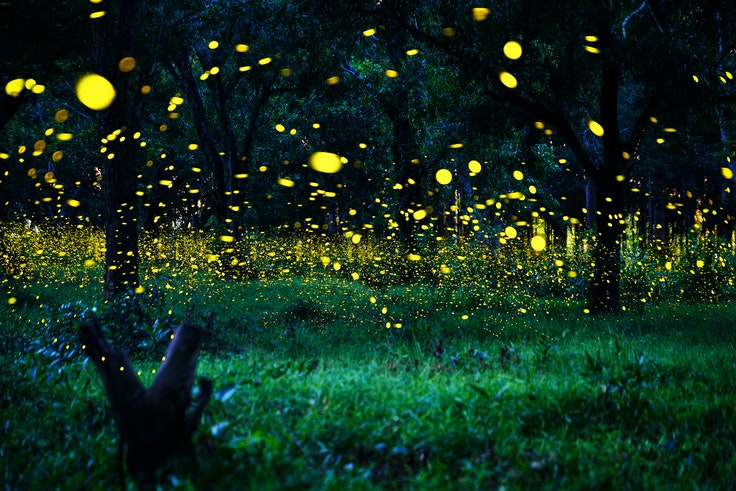 Synchronous fireflies are a unique species that actually synchronize their light display.