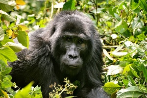 So You Wanna Go Gorilla Trekking in Uganda