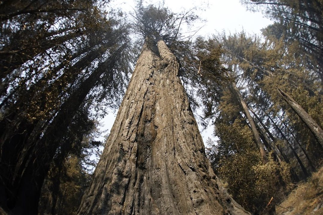 "An old-growth redwood tree named ""Father of the Forest"" is still standing in Big Basin Redwoods State Park."