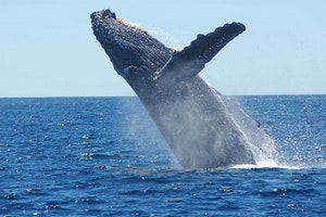 Humpback Whales Return to Water Around NYC