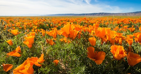 Where to See California Wildflowers, Even if a Super Bloom Doesn't Happen This Year