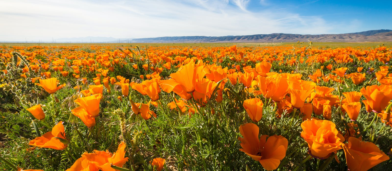 A 90-minute drive from Los Angeles, the 1,800-acre Antelope Valley California Poppy Reserve offers a vibrant springtime escape from the city. But there's a lot more blooming in the Golden State this spring.