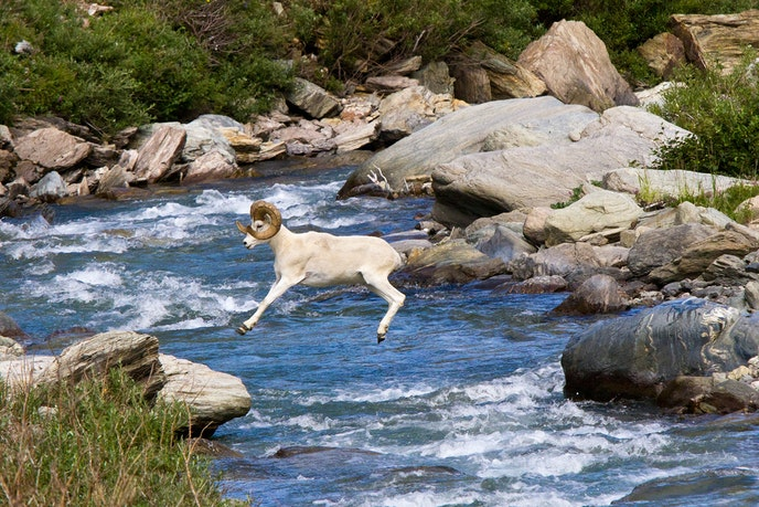 The Savage River Loop in Denali National Park and Preserve is an ideal location for spotting Dall sheep.