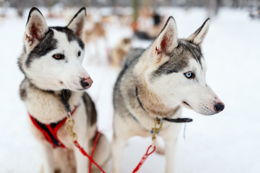 Huskies in Lapland, Finland, hang out during a break from a sled ride.